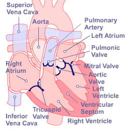 Heart components clinical services heart institute ccuart Choice Image