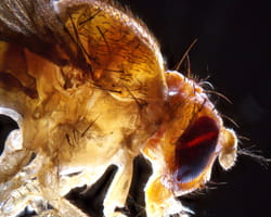This close-up image of a fruit fly was taken by Matt Kofron, PhD.