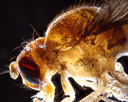 An enlarged image of a Drosophila fruit fly.