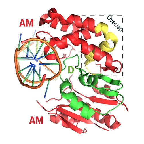 Fig A:  This image shows the crystal structure of DAM. The N-terminal D half (green), C-terminal AM half (red), and over-lapping region (yellow) are shown.