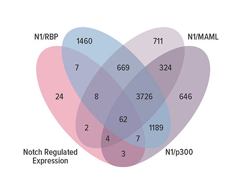Fig B This Venn diagram details the overlap between Notch-regulated genes expressed in mK4 cells and the genes near a segment labeled by SpDamID-seq generated with the indicated Notch pairs.