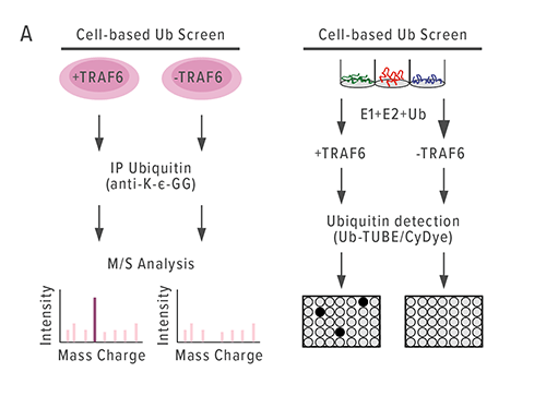Chart A describes the global ubiquitination screening process used to analyze the effects of TRAF6 overexpression. Several steps of analysis, including mass spectrometry, revealed that hnRNPA1 was causing aberrant alternative splicing and diminished expression of the gene Arhgap1.