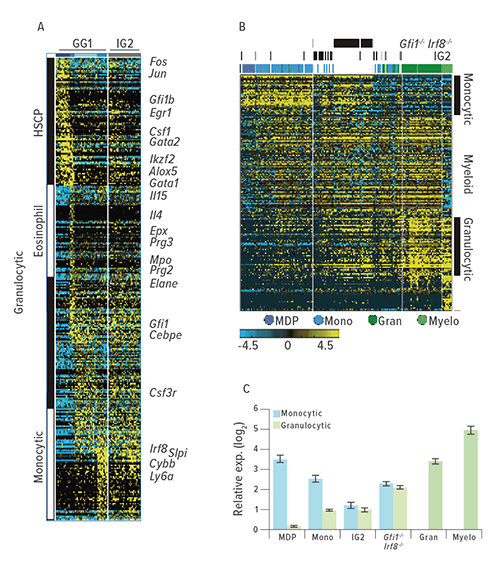 "These figures describe how a research team ""trapped"" a rare myeloid transition state during the blood cell development process by removing counteracting determinants. A: Shows the outcome of ICGS-based scRNA-Seq analysis of GG1 and IG2 cells. Known hematopoietic regulators and markers are indicated to the right). B: HOPACH clustering of WT, IG2 and Irf8−/−Gfi1−/− GMPs based on ICGS-delineated genes, with indicated myeloid cellular states shown to the right. C: Monocyte or granulocyte gene enrichment analysis compared the median expression value of a gene within cells of designated group to its median value in all cells. Average fold change (log2 ± SEM) was determined for monocytic or granulocytic genes."