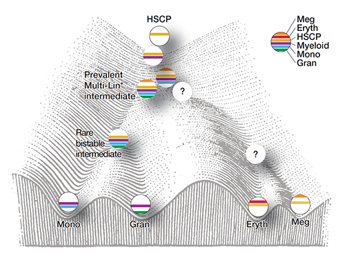 This model depicts a hierarchical set of hematopoietic intermediates culminating in the specification of monocytic and granulocytic lineages. Cells are ordered on a Waddington landscape with their characteristic gene expression modules (color bars) and states. The prevalent (Multi-Lin* ) and rare (bistable) mixed-lineage myeloid transition states are proposed to manifest dynamic instability because of counteracting regulatory determinants. Although erythroid and megakaryocytic progenitor cells were found within CMP cell populations, it remains to be determined whether a distinct set of Multi-Lin* intermediates give rise to these progenitors via a rare bi-stable state.