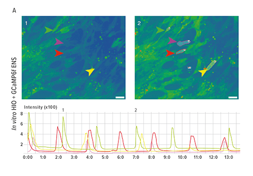 Figure A depicts snapshots of live imaging of neural activity in HIOs+ENS. Colored arrows point to cells whose pixel intensity was measured over time. The graph measures fluorescence values over time.