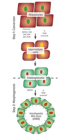 An image showing conversion and morphogenesis.
