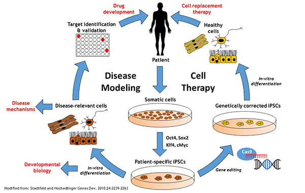 Induced pluripotent stem cells ipscs ccuart Images