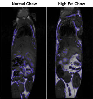 Representative image of magnetic imaging with 7T MRI demonstrating that mice on a high fat diet have increased adiposity.