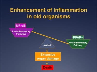 Enhancement of inflammation in old organisms.