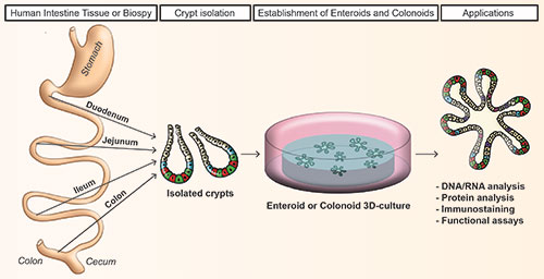 Figure 1 - Workflow of crypts dissociation and generation of human enteroids and colonoids in culture.