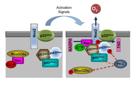NADPH oxidase activation.