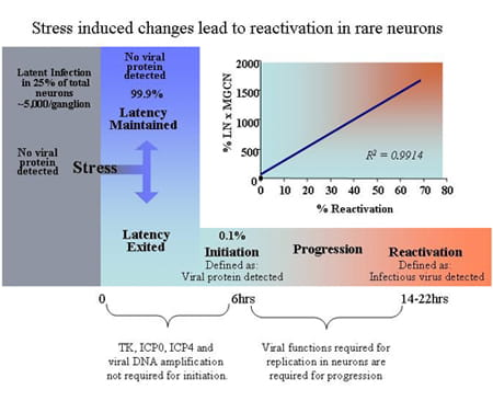 Stress induced changes lead to reactivation in rare neurons.