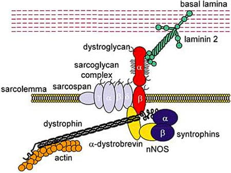 Mechanisms of Duchenne and Miyoshi Myopathy.