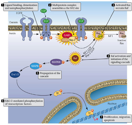 Shp2 and signaling through ERK.