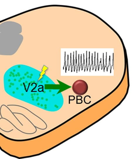 V2a neurons in the brainstem provide excitatory drive to respiratory neurons in pre-Boetzinger complex (PBC).