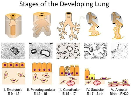 Stages of the Developing Lung.