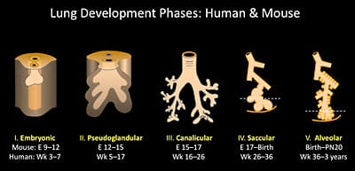 Lung development phases: human and mouse.