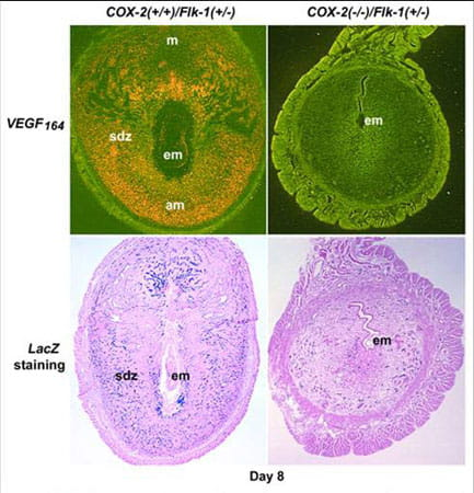 VEGF expression and angiogenesis are depressed at the implantation site in the absence of COX-2.