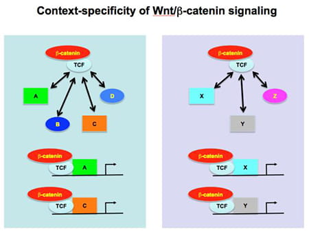 In this scheme, the cell on the left expresses transcription factors A, B, C, and D and the cell on the right expresses transcription factors X, Y, and Z. Interaction of the Tcf/b-catenin complex with the respective transcription factors likely determine which target genes are activated by Wnt/b-catenin signaling.