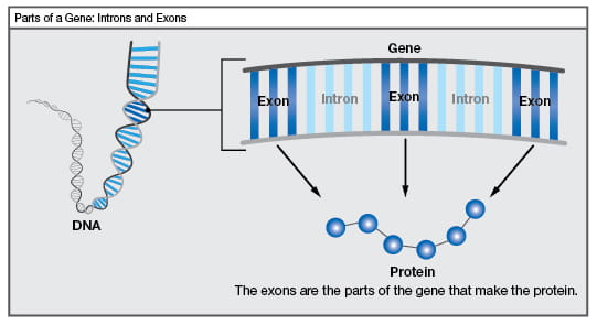 Parts of a gene: Introns and exons